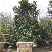 berylwood-tree-farm-large-trees-vines-camellias-shrubs-california-sm11