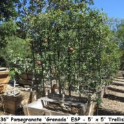 berylwood-tree-farm-large-trees-vines-fruit-shrubs-california-sm11