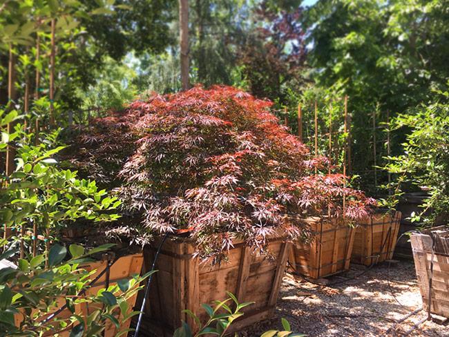 Berylwood Tree Farm, Wholesale Growers of Specimens