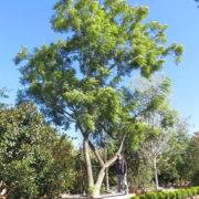 berylwood-tree-farm-photos-specimen-trees