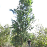 berylwood-tree-farm-photos-specimen-trees