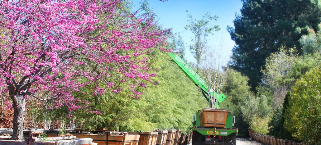 Berylwood Tree Farm, Wholesale Nursery for Large Trees in