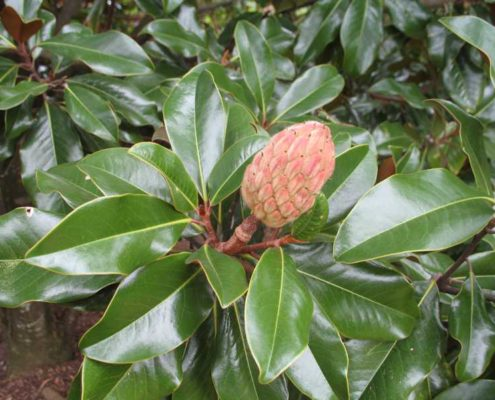 southern-magnolia