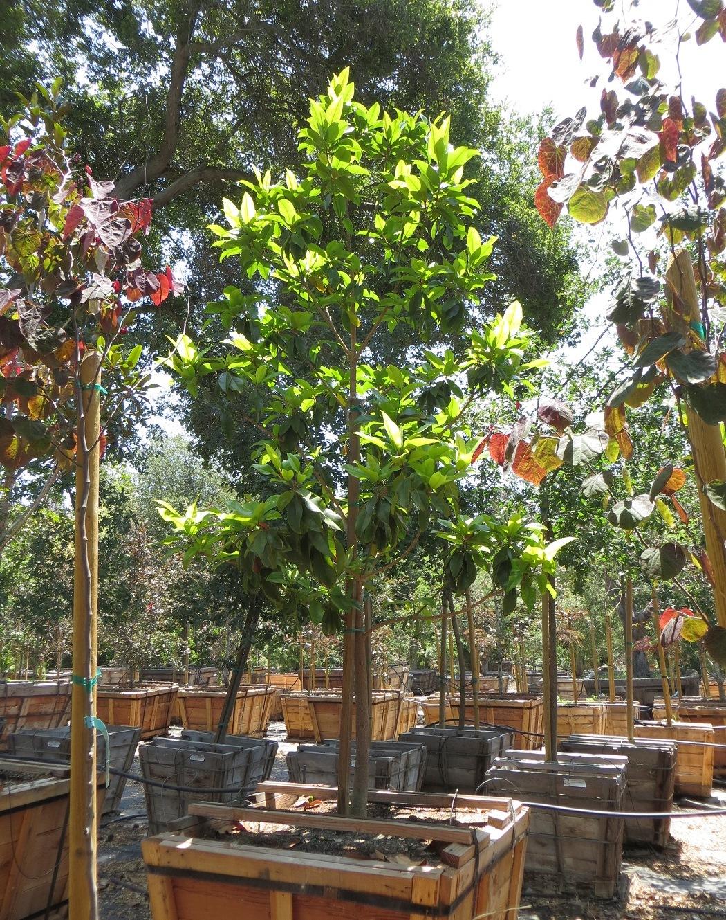 Magnolia grandiflora LB 48