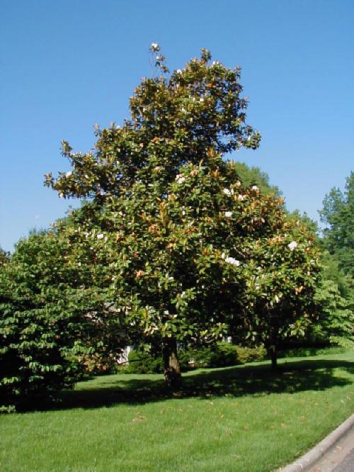 Magnolia Grandiflora Berylwoodtree Farm
